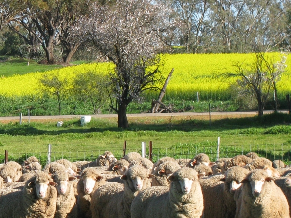 Sheep looking happy in Goomalling