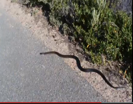 An Albany brown snake - click here to see the video